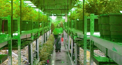 Cannabis plants being grown in a greenhouse.