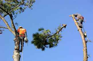 Workers high up in trees with chainsaws.